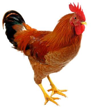 roosters_av2